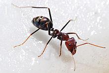 220px-Meat_eater_ant_feeding_on_honey02